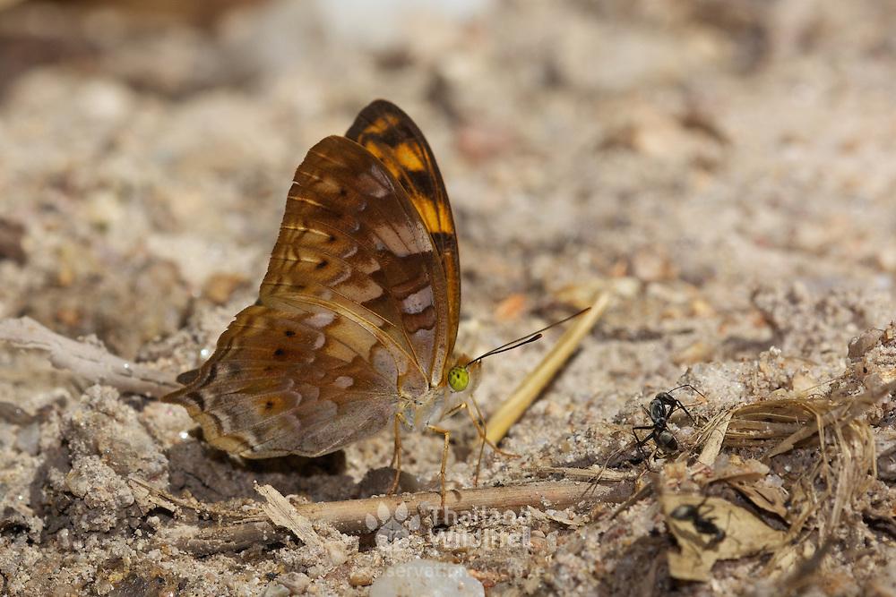 The Vagrant Butterfly, Vagrans sinha. Chaloem Phrakiat Thai Prachan National Park, Thailand.