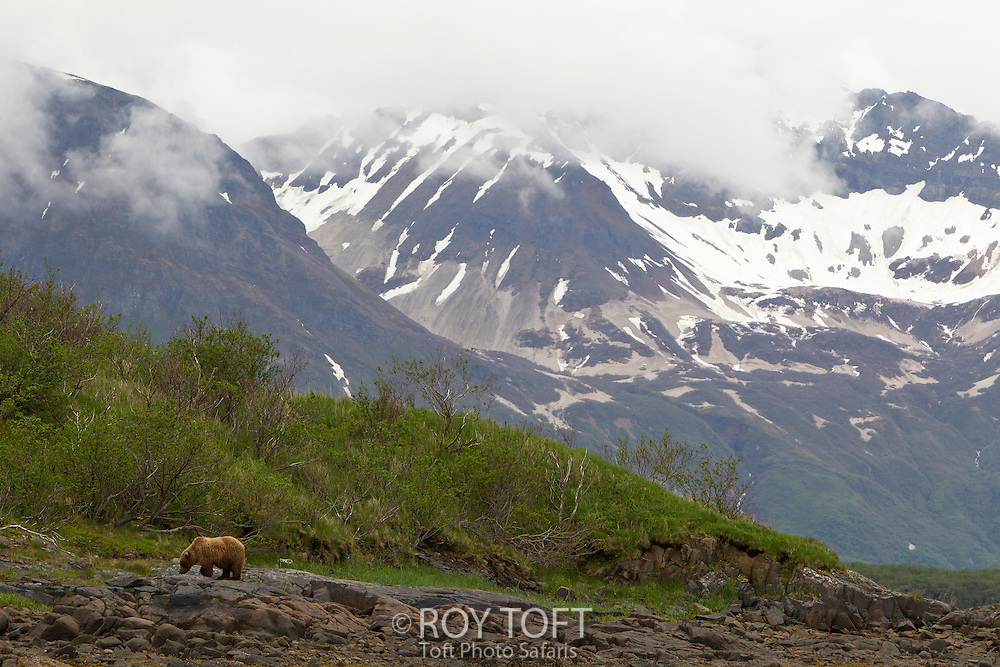 An adult brown bear, Katmai National Park, Alaska