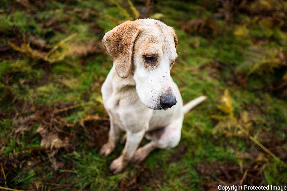 Gentry. A foxhound of the Jedforest Hunt.