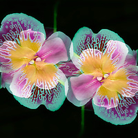 Bright and cheery pansy orchids (Miltonia), dark background. Oil paint effects blended with original photograph. Double exposure montage, cyan tones.