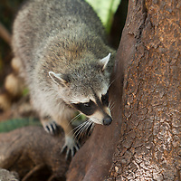 Raccoon on tree, Miami, Florida, USA