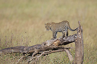 Leopard (Panthera pardus) cub playing on a fallen tree, Serengeti