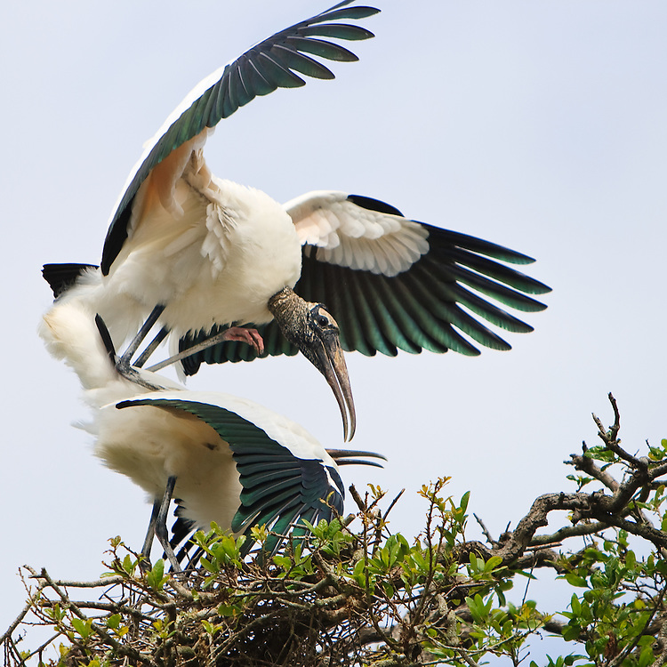 A nesting pair of wood storks (Mycteria americana) mating at the nest, St. Augustine Alligator Farm Rookery, Anastasia Island, St. Augustine, Florida