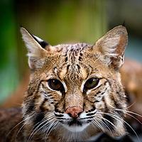 Bobcat - Lynx rufus- Working