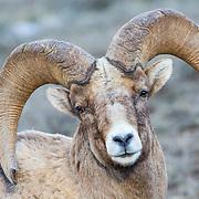 A bighorn sheep ram, Ovis canadensis, portrait.