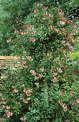 Lonicera periclymenum 'Serotina' growing on a post
