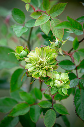 Rosa × odorata 'Viridiflora'. Green rose