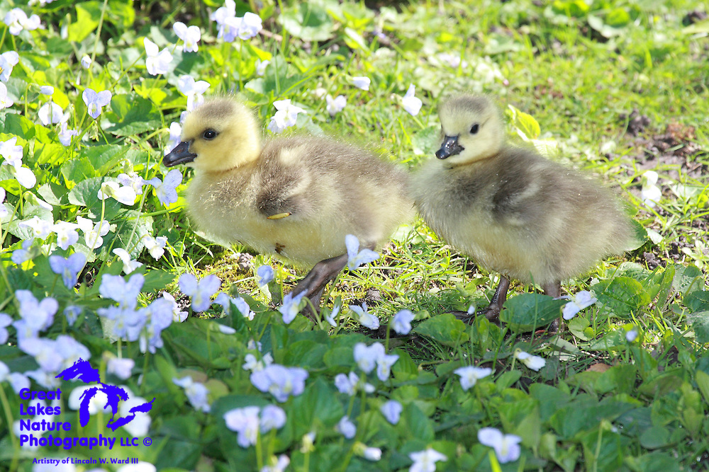 Baby geese are really cute....what else can I say about this shot.