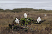Three snowy owls (Bubo scandiacus formerly Nyctea scandiaca) rest on an old stump along Boundary Bay in southern British Columbia, Canada. The bay, located along border of the United States and Canada, is well south of the typical snowy owl range. Once or twice a decade, owls migrate farther south in an event known as an irruption. Irruptions happen when the snowy owl population is too large for the available food supply on the Arctic tundra.