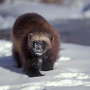 Wolverine, (Gulo gulo) Adult. Rocky mountains. Montana. Winter.  Captive Animal.