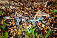 A male six-lined racerunner somehow photographed in a brief chase through Jonathan Dickenson State Park on Florida's East Coast. These incredibly fast lizards are found in pine scrubs and similar dry environments. Males have a beautiful turquoise underside.