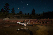 Under a starry night sky, a western long-legged myotis (Myotis volans) at a watering hole in the high-desert of Oregon.