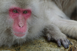 A snow monkey lifts its head over the edge of a hot spring during winter in Japan.