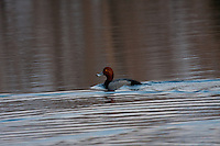 A Redhead swims in the pond at Carburn Park...©2009, Sean Phillips.http://www.Sean-Phillips.com