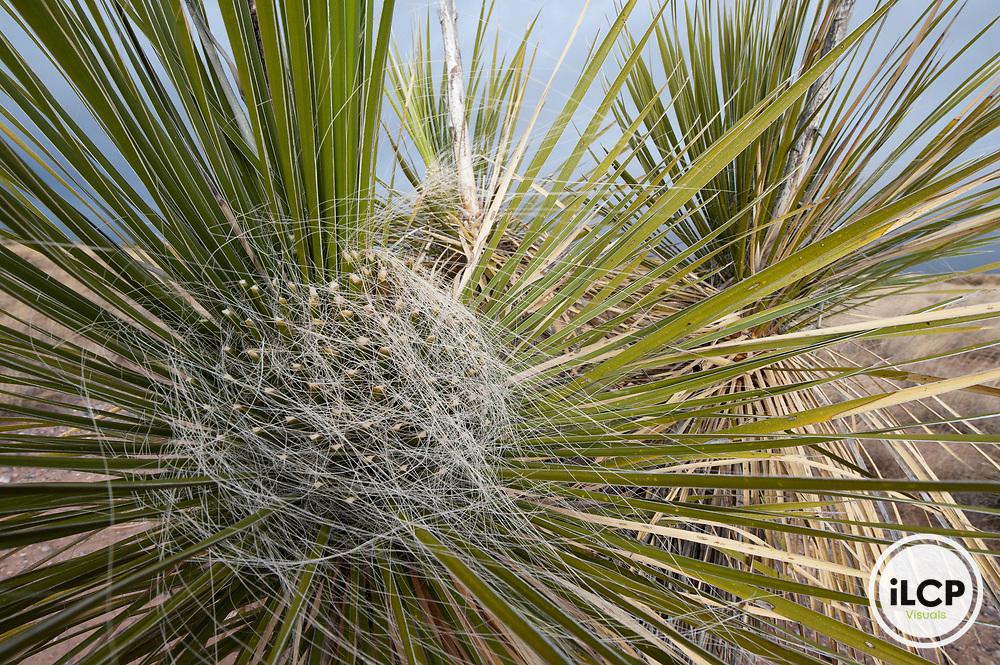 Yucca plant detail.