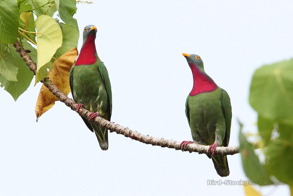Claret-breasted Fruit Dove, Ptilinopus viridis, pair, on branch, Ghizo, Solomon Islands, by Jonathan Rossouw