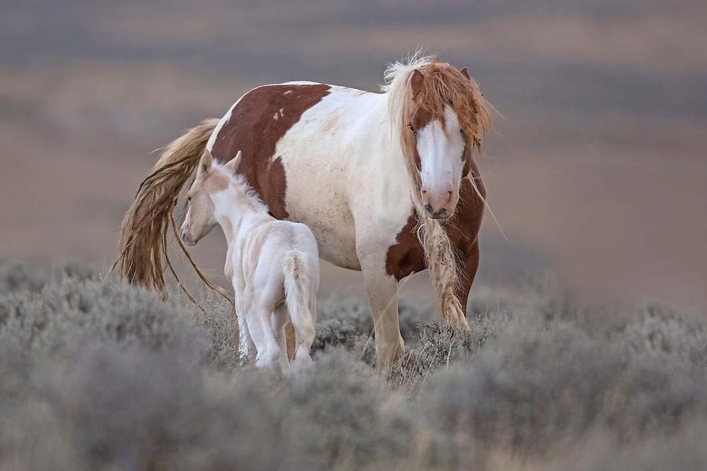 The wild mare, Tuff, sticks close to her newborn foal. Ever the protective mom, she even kicked at her band stallion, Derby, as he tried to snake the pair away from the main band.