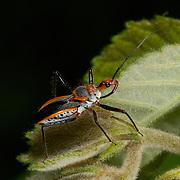 A Reduviidae sp. assassin bug in Huai Kha Kaeng, Thailand.
