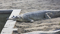 Gharial (Gavialis gangeticus) at the crocodile breeding centre in Bardia National Park, Nepal