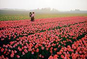 Tulpenveld in Noordwijkerhout, Bollenstreek