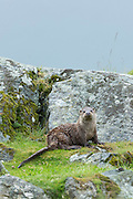Sea Otter, Lutra lutra, carnivorous semi-aquatic mammal, on dry land by side of loch on Isle of Mull in the Inner Hebrides and Western Isles, West Coast of Scotland