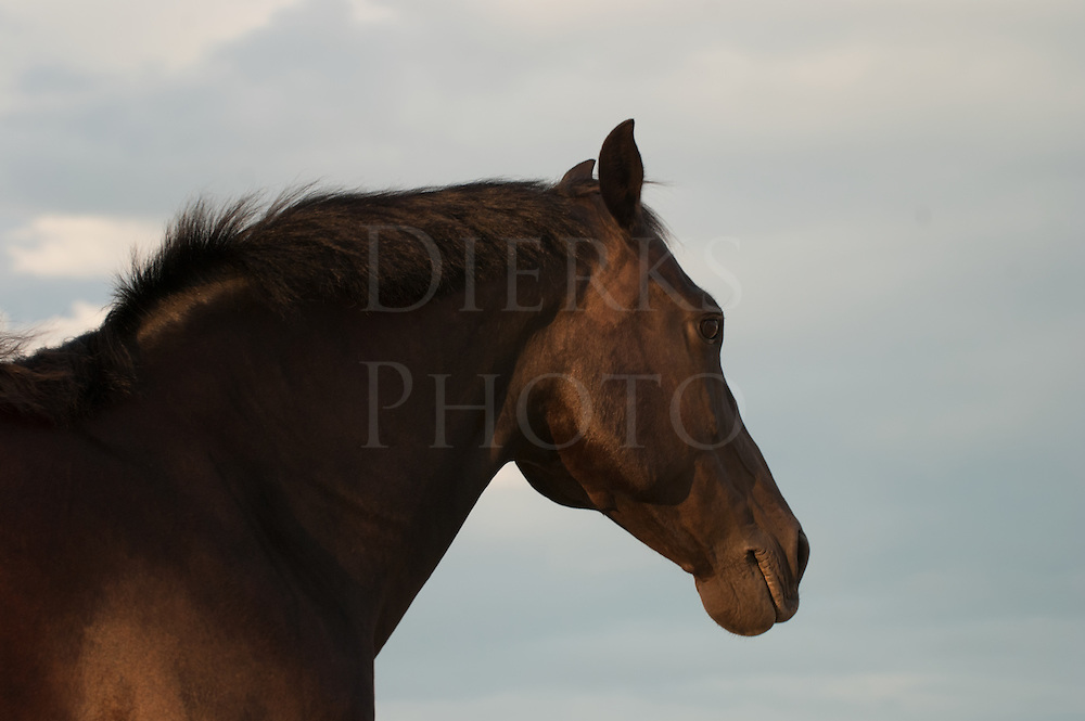 """Morgan horse head shot in side view, partial silhouette, taken in low angle yellow sunset light, """"Mirage""""."""