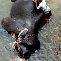 "PINNAWELA, OCTOBER-3 : a mahout rests while his elephant enjoys a bath in the Ma Oya river in Pinnawala, October 3, 2005, Sri Lanka. The 35 mahouts of the Pinnawala orphanage are in charge of 75 elephants which is a heavy task. it takes about 6 months training to learn the ""elephant language"" and years of expirience too become a good elephant keeper. Mahouts are well paid and therefore there's no shortage of applicants .PINNAWELA, OCTOBER-3 : an elephant greets a visitor   in Pinnawela, October 3, 2005, Sri Lanka.   .The Pinnawela orphanage was started in 1975 and initially designed to afford care and protection to the many baby elephants found in the jungle without their mothers. In most cases the mother either had died or been killed. .Animals are allowed to roam freely duringthe day and a herd structure allows to form. there are only a few elephant orphanges worldwide. At Pinnawela an attempt was made to simulate, in a limited way, the conditions in the wild. Currently the herd consists of 75 elephants under the surveillance of legendary  Mahout chief Sumanabanda."