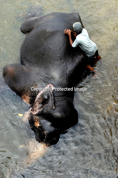 """PINNAWELA, OCTOBER-3 : a mahout rests while his elephant enjoys a bath in the Ma Oya river in Pinnawala, October 3, 2005, Sri Lanka. The 35 mahouts of the Pinnawala orphanage are in charge of 75 elephants which is a heavy task. it takes about 6 months training to learn the """"elephant language"""" and years of expirience too become a good elephant keeper. Mahouts are well paid and therefore there's no shortage of applicants .PINNAWELA, OCTOBER-3 : an elephant greets a visitor   in Pinnawela, October 3, 2005, Sri Lanka.   .The Pinnawela orphanage was started in 1975 and initially designed to afford care and protection to the many baby elephants found in the jungle without their mothers. In most cases the mother either had died or been killed. .Animals are allowed to roam freely duringthe day and a herd structure allows to form. there are only a few elephant orphanges worldwide. At Pinnawela an attempt was made to simulate, in a limited way, the conditions in the wild. Currently the herd consists of 75 elephants under the surveillance of legendary  Mahout chief Sumanabanda."""