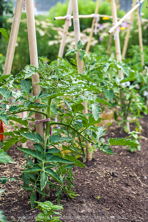 Tomato plants in the vegetable garden, supported by bamboo stakes.