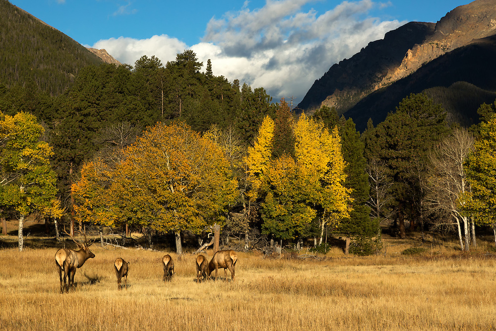 Bull elk or wapiti (Cervus canadensis) with females, Rocky Mountain National Park, Colorado, USA