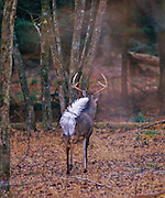 "White-tailed deer ""flagging"" his tail as he departs the scene."