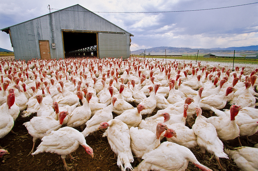 Thousands of curious turkeys destined for dinner plates, Manti, Utah