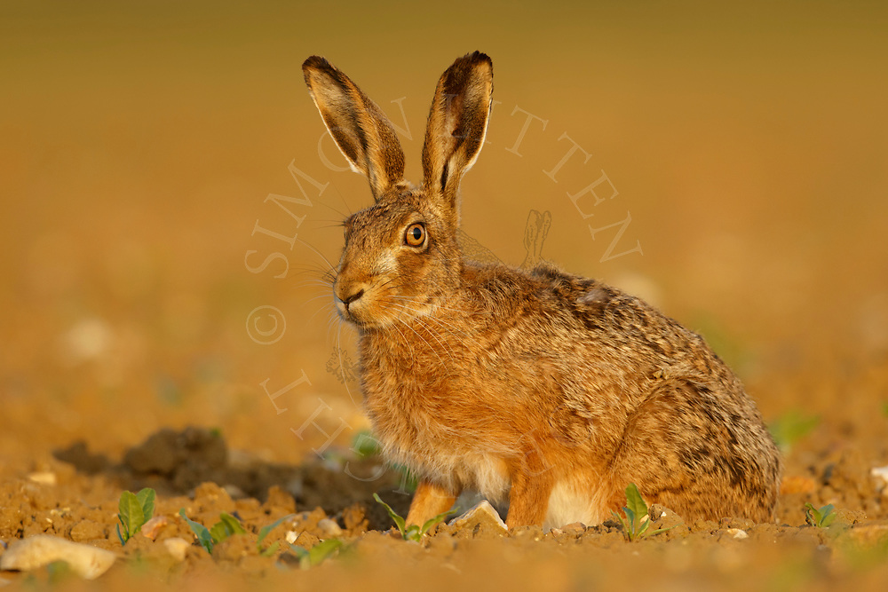 European Hare (Lepus europaeus) adult alert in emerging sugar beet crop, South Norfolk, UK. May.