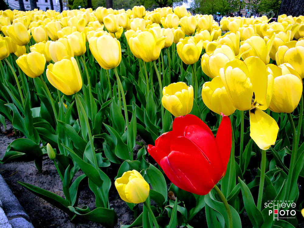A lone red tulip in a sea of yellow tulips near the entrance of the Wisconsin State Capitol in Madison, Wisconsin.