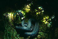 DEU, Deutschland: Schlange, Ringelnatter (Natrix natirx), versteckt im Moos, lebt in Wassernähe, bedrohte Tierart | DEU, Germany: Snake, Grass snake (Natrix natrix), hidden in moss, living next to waters, endangered species
