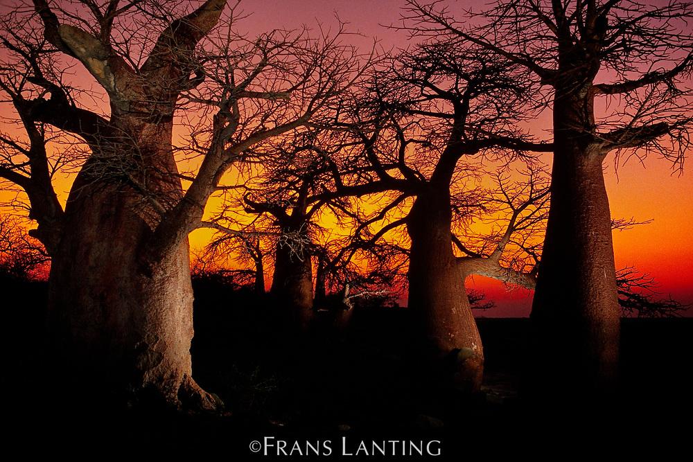 Baobabs at sunset, Adansonia digitata, Makgadikgadi Pans, Botswana