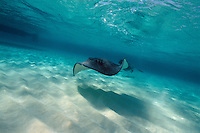 Sting Ray swims across the ocean floor, Sting Ray City, Grand Cayman, Cayman Islands