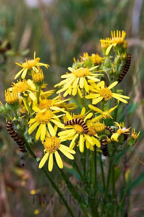 Caterpillars feed on Ragwort plant, Blakeney Point, Norfolk, United Kingdom