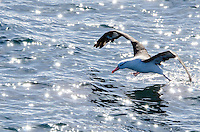 Black-browed albatross taking off from the Beagle Channel between Chile and Argentina.