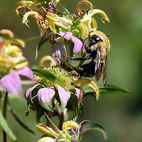 Pinhook wild flowers in Duke easement 08-2018