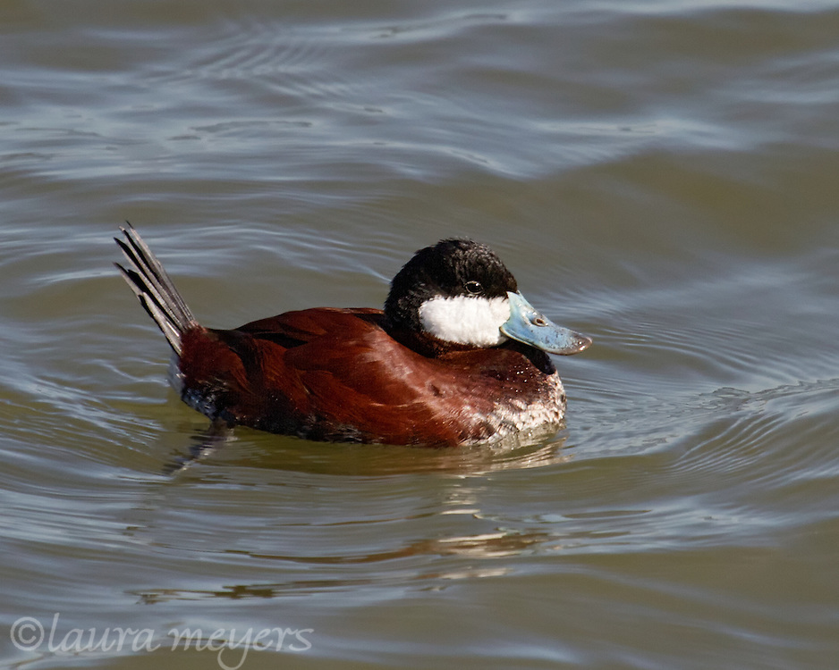 Ruddy Duck at Stuyvesant Cove, New York City  birds, nature photography, bird photography, Laura Meyers Visually Speaking,  Laura Meyers Photography, digital nature photography, urban birds, ducks