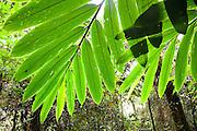 Light shines through leaves  in Mesilau Nature Resort, Kinabalu National Park, Sabah