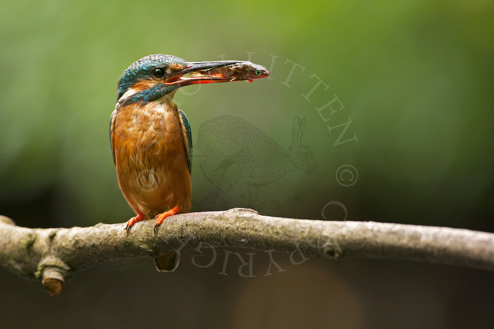Common Kingfisher (Alcedo atthis) adult perched on branch overhanging river holding fish in beak for young, Norfolk Broads N.P., UK.