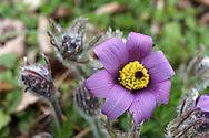 A Pasque flower (Pulsatilla vulgaris - formerly Anemone pulsatilla) blooming in spring in a backyard garden. Pasque flowers are usually some of the first blooms to appear in the spring garden after bulbs such as daffodils and bluebells.