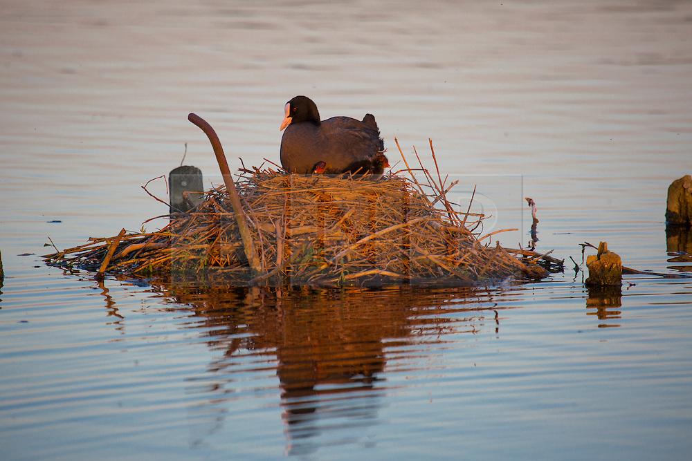 © Licensed to London News Pictures. 26/04/2016. London, UK.  A bird sits in it's nest on a lake in warm sunset light in Bushy Park, west London on May 16, 2016.   Photo credit: Colin Hart/LNP
