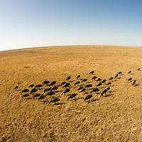 Africa, Botswana, Chobe National Park, Aerial view of herd of running Wildebeest (Connochaetes taurinus) across grasslands in Savuti Marsh in Okavango Delta
