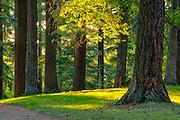 Sun dappled firs, Mount Tabor Park, Portland, Oregon, USA.