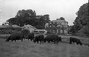 Aberdeen Angus herd at Clonacody House, Clonmel, Co. Tipperary..19.08.1961