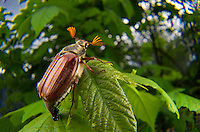 Cockchafer or May bug (Melolontha melolontha), Switzerland. The cockchafer (colloquially called may bug, billy witch or spang beetle) is a European beetle of the genus Melolontha, in the family Scarabaeidae.<br /> Once abundant throughout Europe and a major pest in the periodical years of &quot;mass flight&quot;, it had been nearly eradicated in the middle of the 20th century through extensive use of pesticides and has even been locally exterminated in many regions. However, since an increase in regulation of pest control beginning in the 1980s, its numbers have started to grow again. Image by Andres Morya