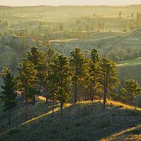 ponderosa pine trees backlit montana, conservation photography - montana wild prairie